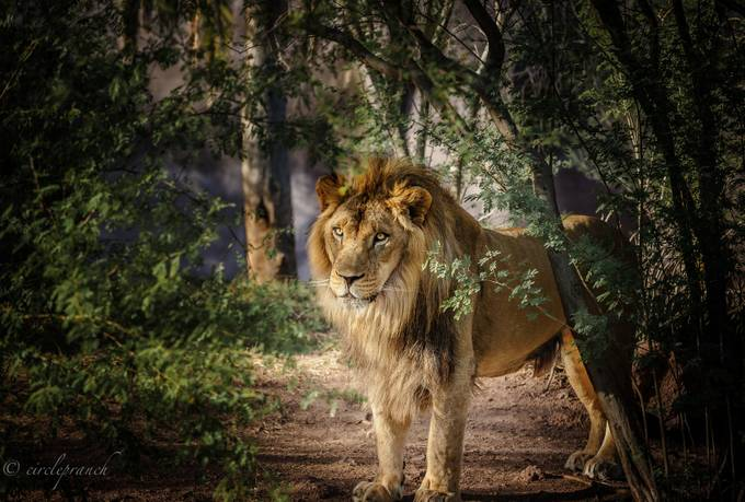 King Of The Jungle  by circlepranch - My Best Shot Photo Contest Vol 3