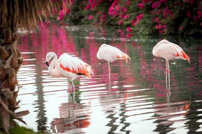 Desert Flamingos