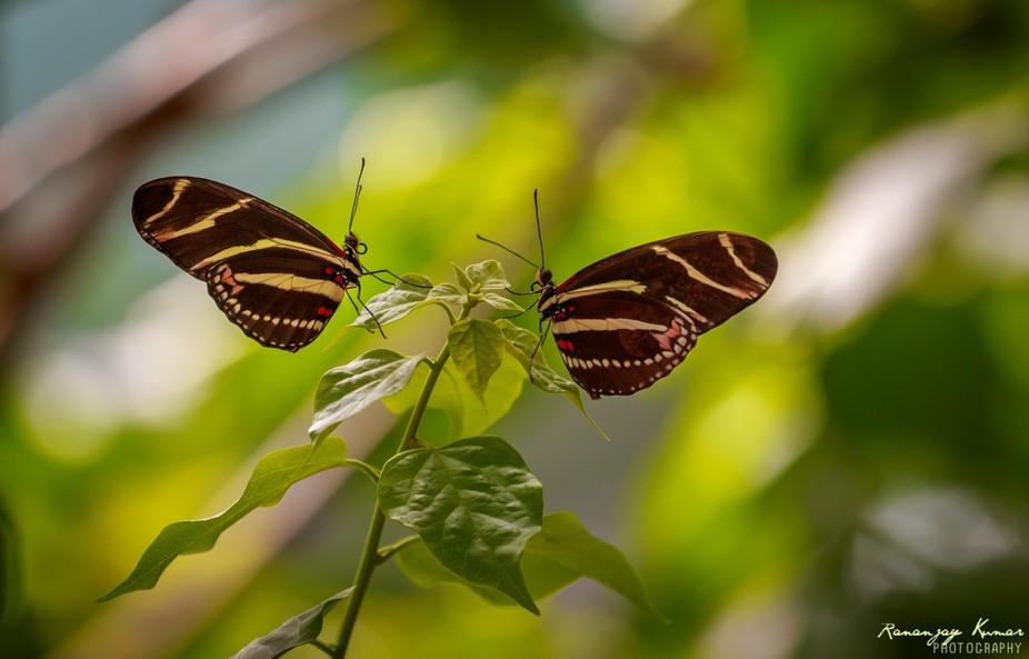 Butterfly Twin