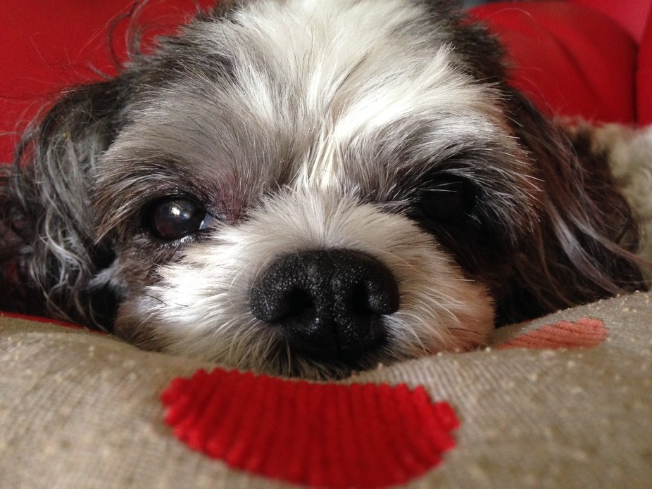 This is my dog, Poppy. I find it hard to get decent photos of her as she will not keep still for the camera, so for me, this shot is pretty special as she is quiet and looking right at the lens. For a 16 year old shih-tzu, she still has a twinkle in her eye!