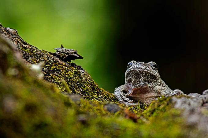 white tree frog 3 by Okdc - Above Or Below Photo Contest