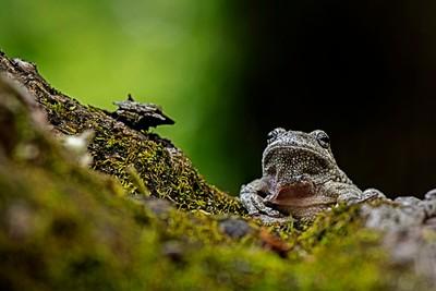 white tree frog 3