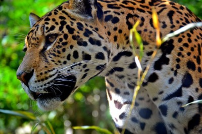 Rica, the female Jaguar