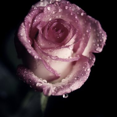 No hand has been allowed to touch  The rose I hide,  Though eyes have looked upon it and desired it.  -From the Thousand and One Nights, Author Unknown