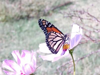 Majestic Monarch