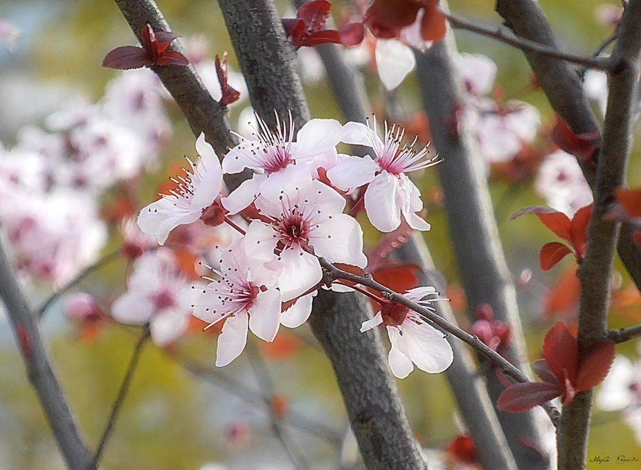 When an almond tree became covered with blossoms in the heart of winter, all the trees around it began to jeer.
