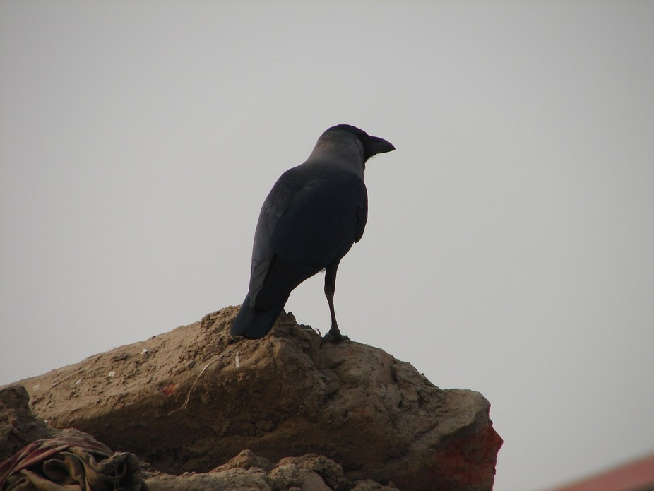 Indian Raven in Varanasi.Uttar Pradesh.India