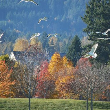 Seagulls flying in Parksville Park