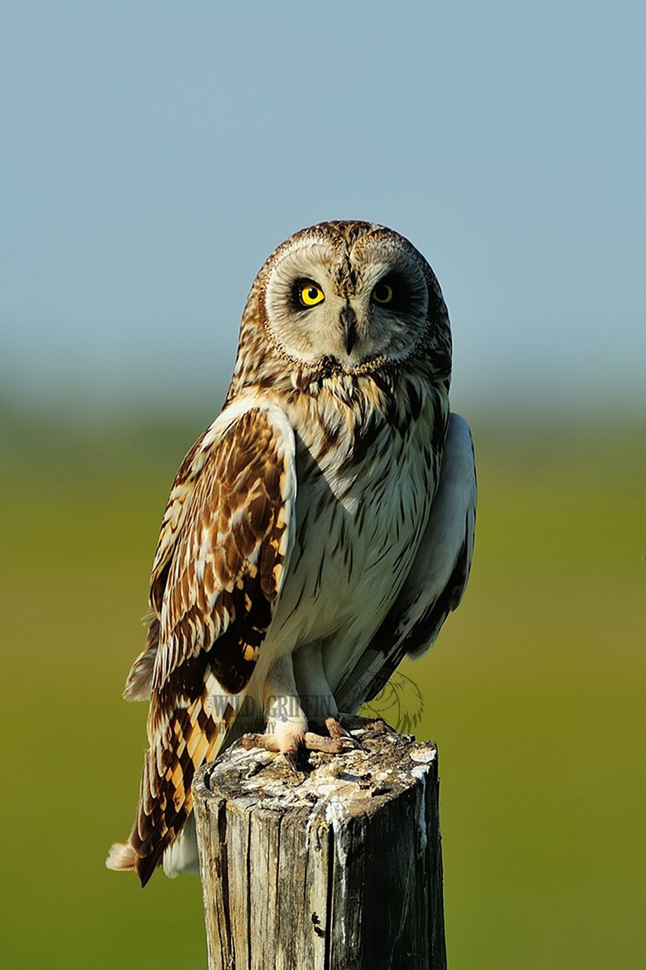 Short Eared Owl by alangriffin - Beautiful Owls Photo Contest