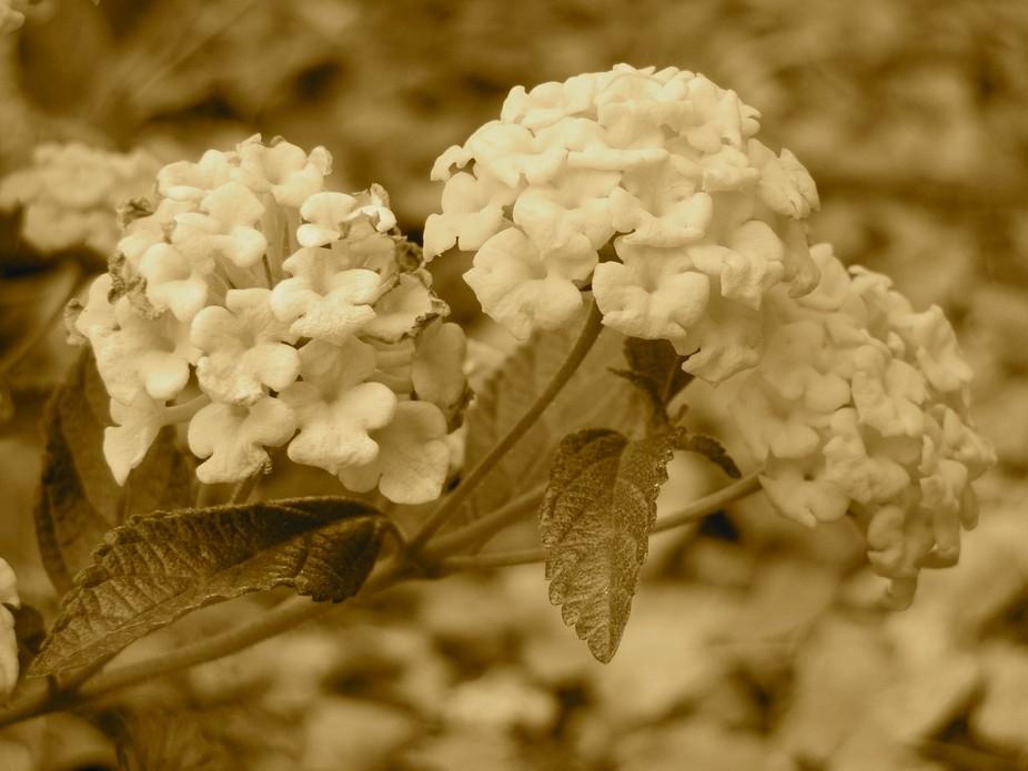 Lantana Flowers In Sepia