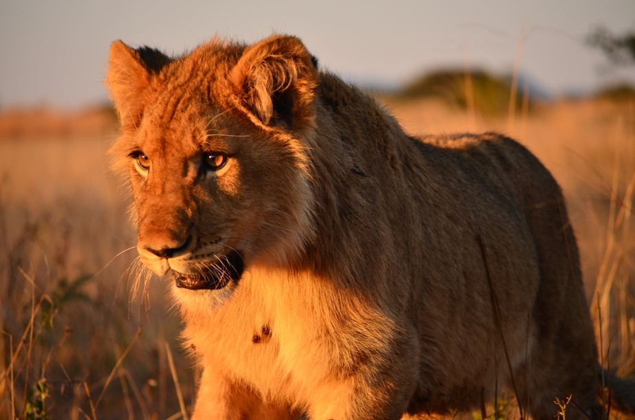 Lion Trip 6