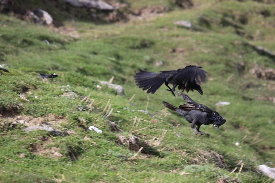 crows were fighting , I captured that instant moment :-)