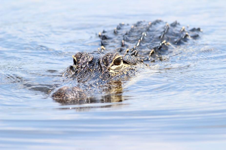 Gator Swimming