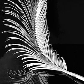 Sago Palm Leaf.