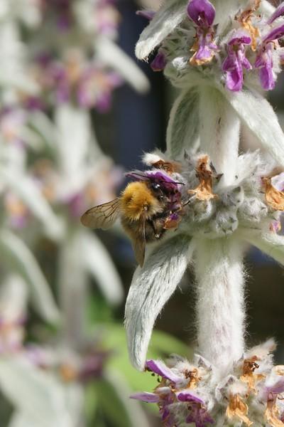 Bee on Lambs Ear III