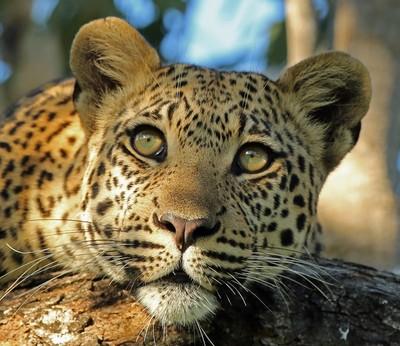 A Delta Leopard!!