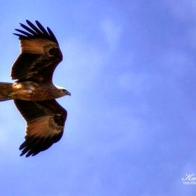 This eagle search around for his food. This shot taken nearby a river at Karur, India.
