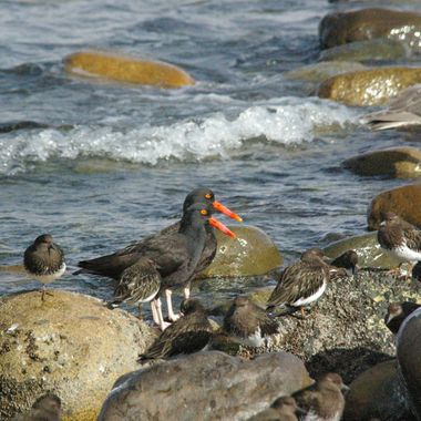 3 Mar '08 - BEST sideXside Black Oystercatchers in Qualicum Beach on Island Highway, Vancouver Island.  Supposedly, used to be rare here, but see them more & more now (2015)