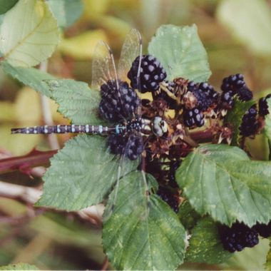 Dragon Fly on a Blackberry bush - Delta, BC