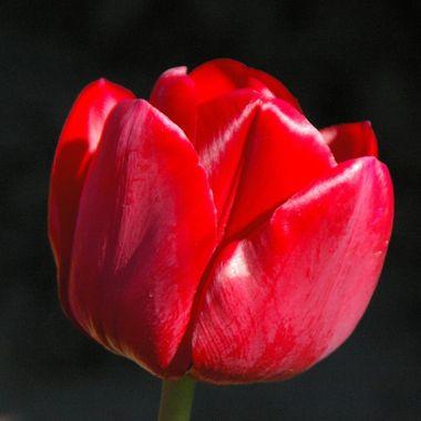 5Apr05n A Laconner Tulip