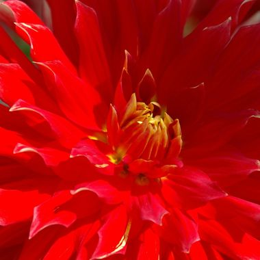 DALHIA IN RED