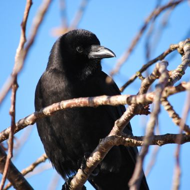 Baby Crow on Remembrance Day 11 Nov 2014 Parksville Park