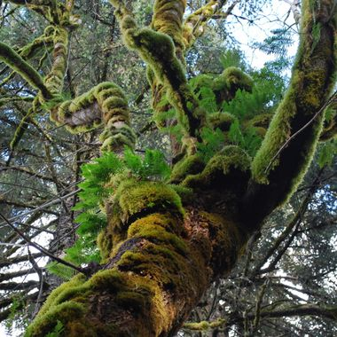 Moss & Fern Growth on Old Tree in Rainforest on Vancouver Island