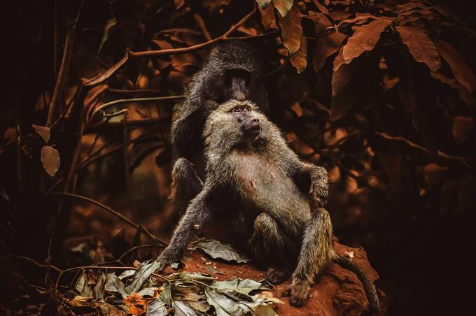 composition by tranini - Monkeys And Apes Photo Contest
