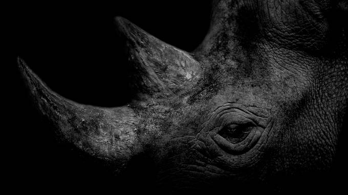 Rhino by bradleyrasmussen - Awesomeness In Black And White Photo Contest