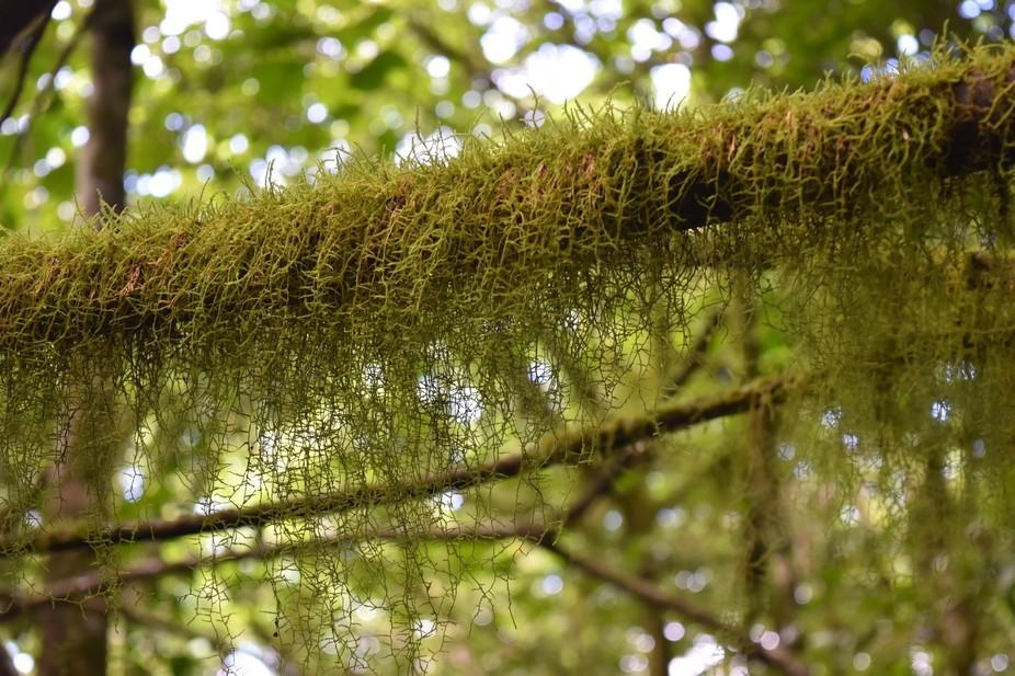Rainforest moss in central Rarotonga