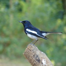 An Oriental Magpie in Diphu.Assam.North East India