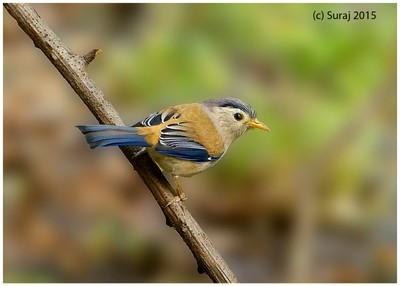 Blue winged Minla