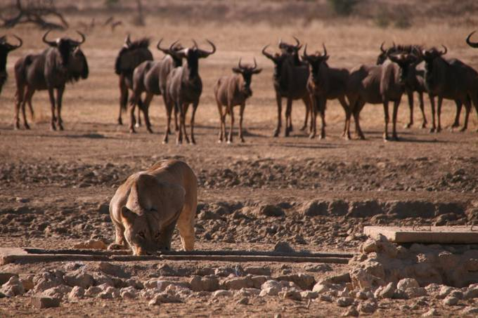 Watching the Kalahari Queen by ClarissaH83 - Strong Foregrounds Photo Contest