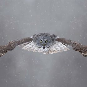 A wild, unbaited Great Grey Owl.  This owl was hunting in a road-side ditch on a very cold, winter day in Alberta, Canada.  After more than an ho...