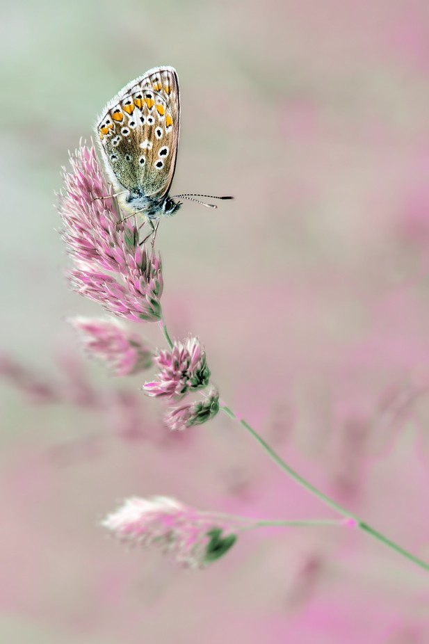 delicate  by traceydobbs - Beautiful Butterflies Photo Contest