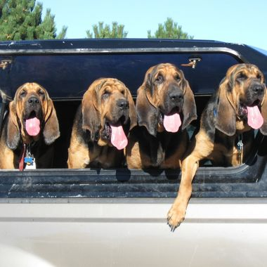Hugh's Bloodhounds at Parksville Dog Park on 28 August 2010