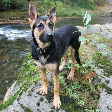 YOUNG GERMAN SHEPHERD ON RIVER - VANCOUVER ISLAND - OCT09