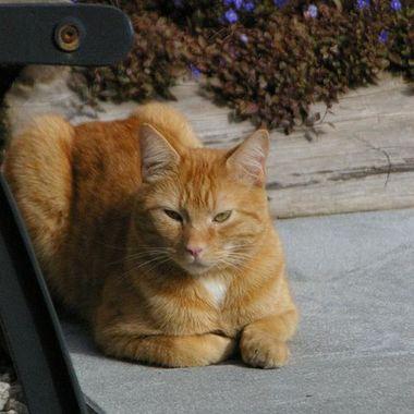 Orange Tabby - Beans is the name, Expert hunter of rodent & bird alike