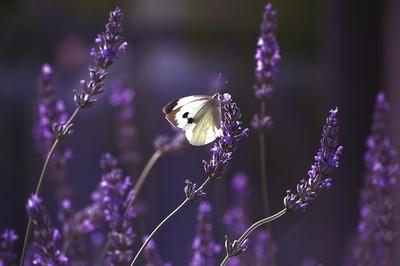 Lavender Moment