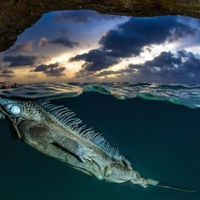 A Green Iguana thaking a breathe during a sunset water ride in a semi-submerged cave on Bonaire Island.