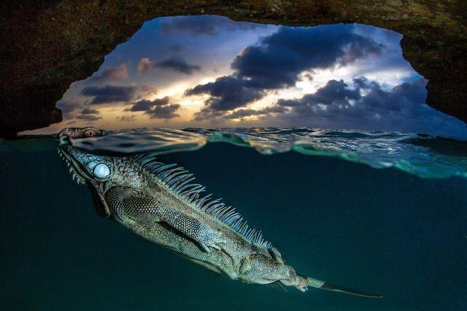 Swimming Iguana  by LorenzoMittiga - Reptiles Photo Contest