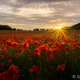 After reading that 2015 is a good year for poppies, I found this field of poppies at sunset in Kent, England, UK.