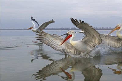 Dalmatian pelicans after the fish