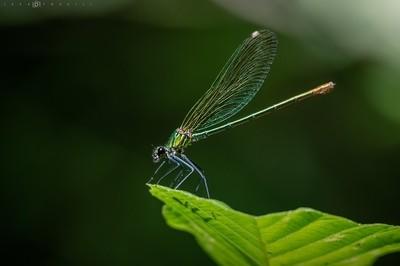 Green Damselfly