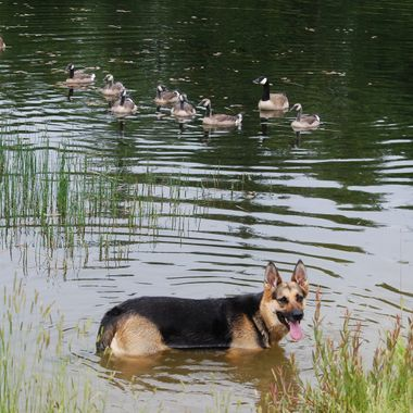 CANINE - GERMAN SHEPHERD - PHEEBEE - Qualicum Airport Dog Park pond 19 June 2013