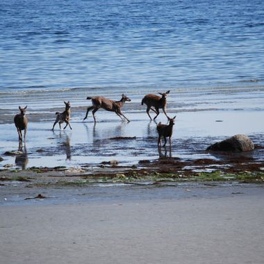 Our local deer caught having a playful romp on our main beach in Qualicum Beach 2013