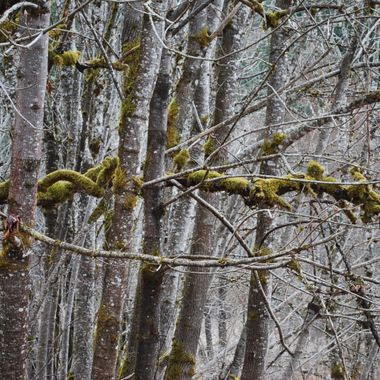 RAIN FOREST ART  -  Moss covered tangled branches - Cumberland's old ASIAN SITE - April 2009