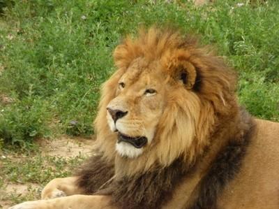 Male African Lion Mug Shot