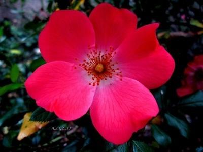Roses-00006