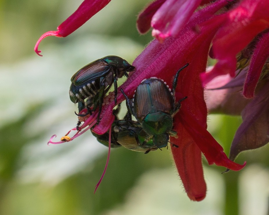 Japanese Beetles during breeding.  They are a despised gardener\'s menace, but still are beautiful...